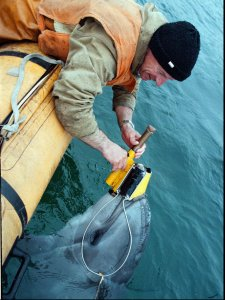 Biologist Sergei Antonov puts a sensor for locating lost objects on the snout of  9-year-old dolphin Diana at the Ukraine Defense Ministry dolphinarium in Sevastopol, Ukraine on Wednesday, Nov. 13, 1996. The only, and until recently secret, military scientific research dolphinarium in the former Soviet Union, where about 50 dolphins are trained for multipurposed military programs including searching missing ships and missiles, rescuing drowning people and destroying naval objects. (AP Photo/Sergei Svetlitsky)